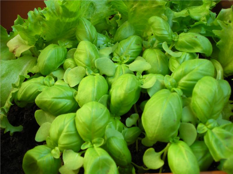 Piante da orto basilico for Semina basilico in vaso